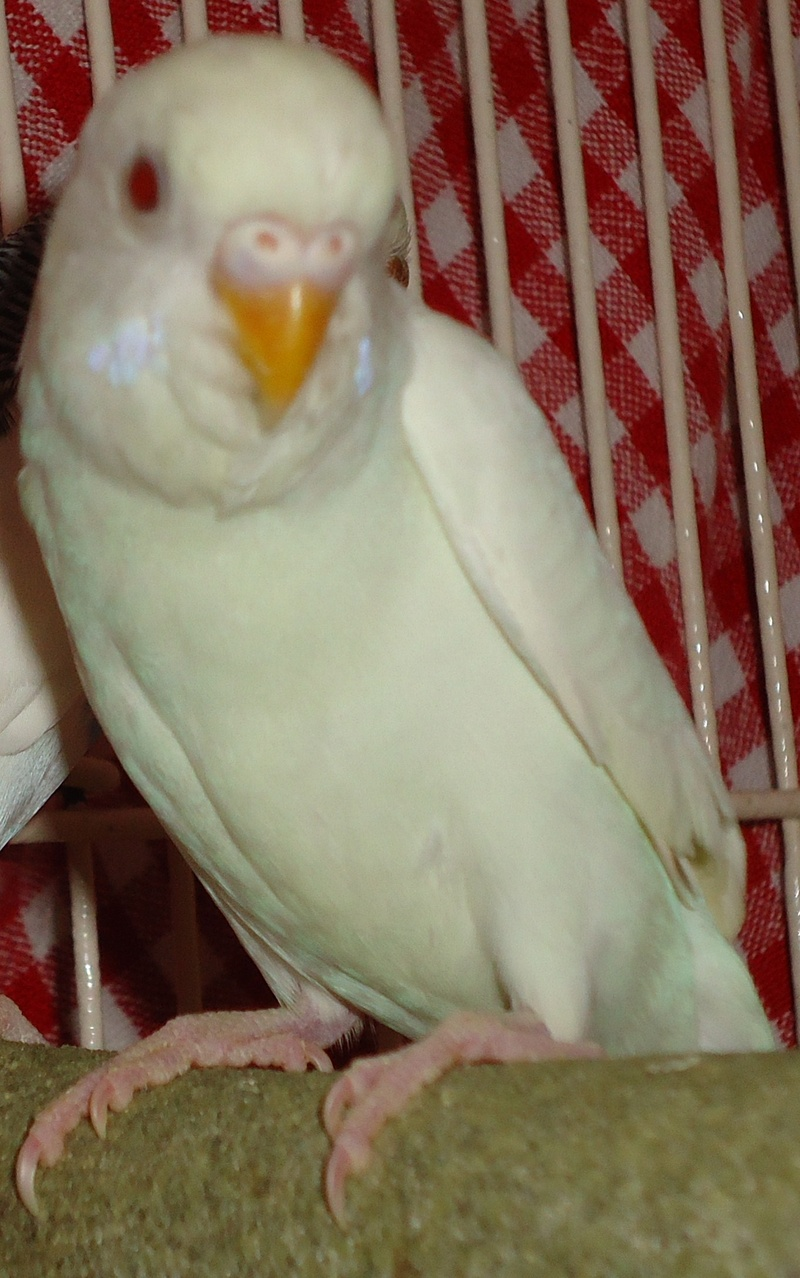 Albino Chicken